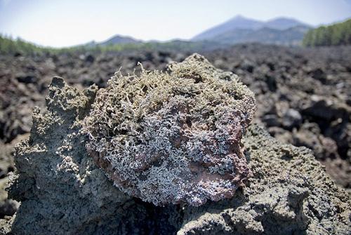 Liquen de la lava Chinyero