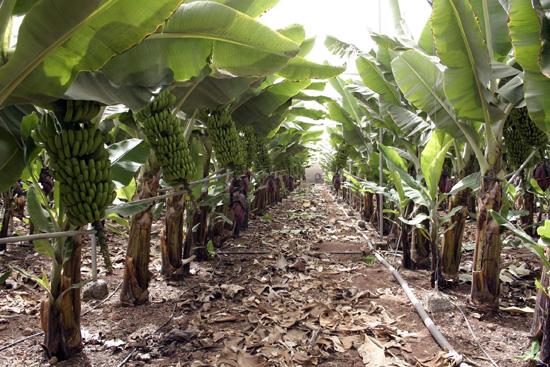 Cultivos plátano canario