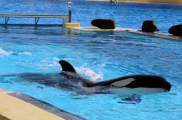 ORCA MORGAN LORO PARQUE