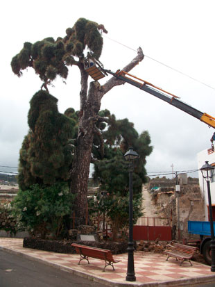 PINO BUEN PASO-ICOD