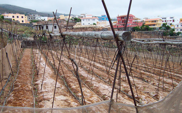 AGRICULTURA-TOMATE-CANARIAS