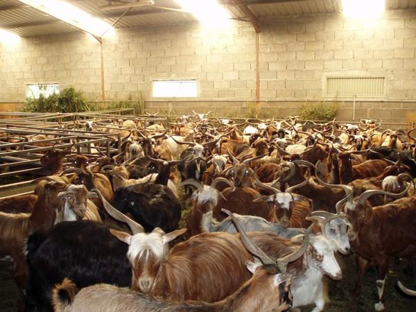 granja cabras