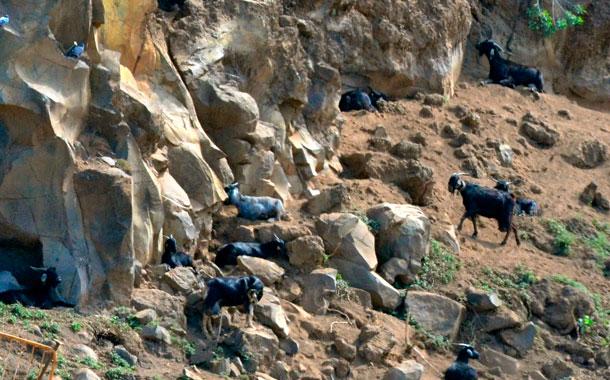 Cabras barranco de Tafuriaste, La Orotava