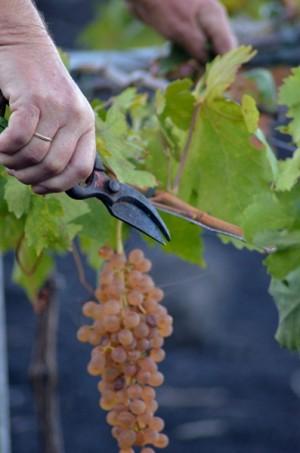 recogida de uva de malvasia