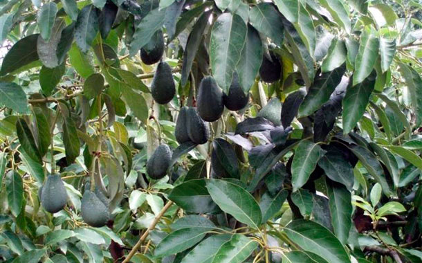 Aguacates cultivados en La Palma