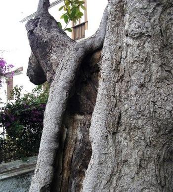 magnolia en San Francisco frente a la Casa de Los Balcones
