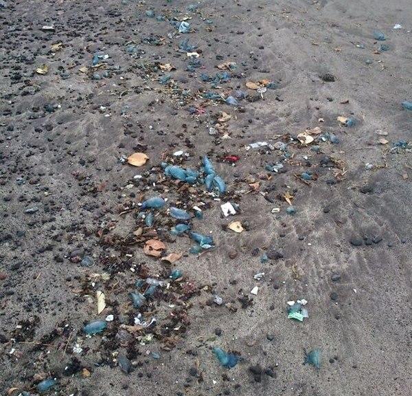 Una imagen de las medusas que aparecieron en la Playa de Bajamar. | DA