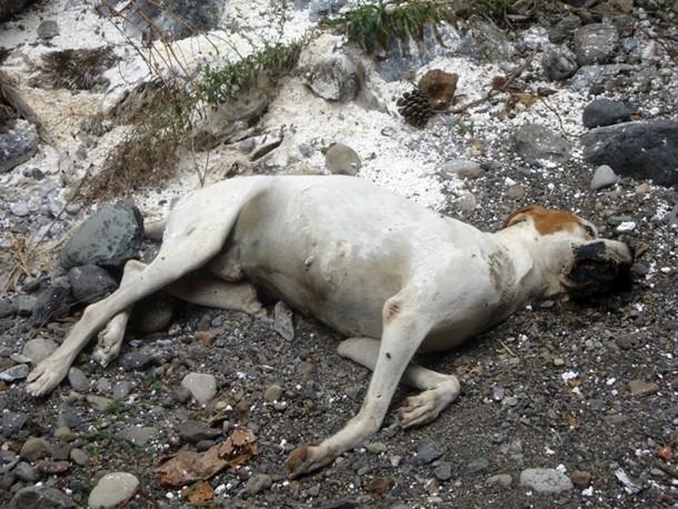Uno de los canes que apareció tirado en el barranco de Arona. | SEPRONA