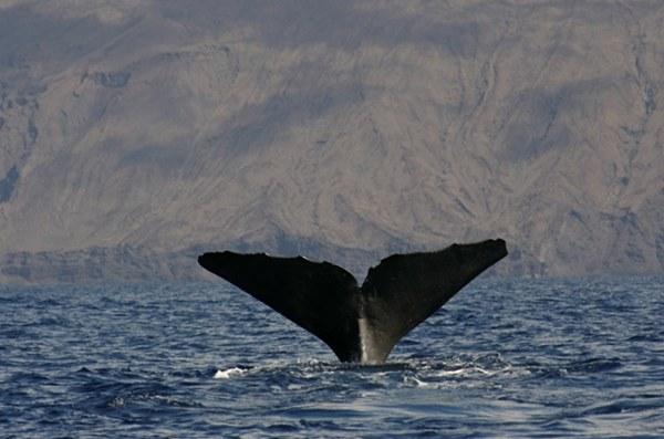 Las fotografías de la cola permiten la identificación individual de los cachalotes. | NATACHA AGUILAR