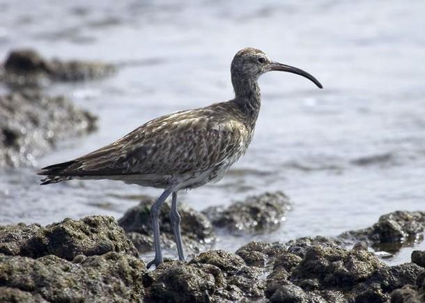 El zarapito trinador, una de las aves del litoral granadillero. / DA