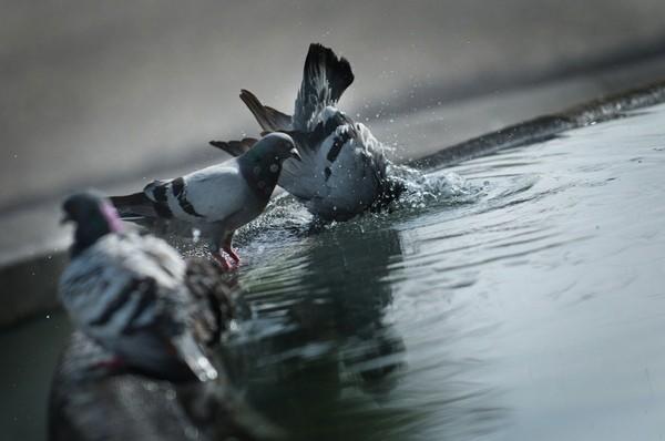 Una paloma se refresca en una fuente durante el verano. | FRAN PALLERO