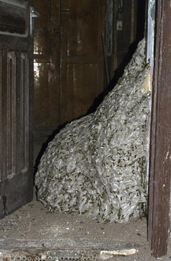 Imagen del avispero gigante que fue encontrado en una casa deshabitada en San Sebastián de La Gomera. | DA