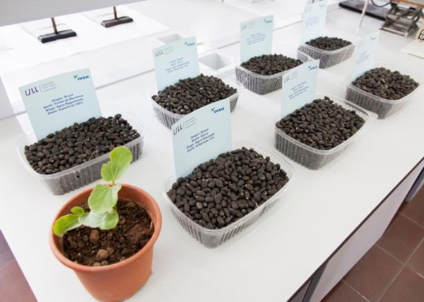 La jatrofa es una planta muy oleaginosa, pues el contenido en aceite de sus semillas puede variar entre el 40 y el 60 por ciento. | DA