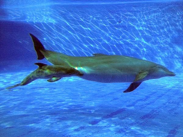 el delfín Ikka mamando