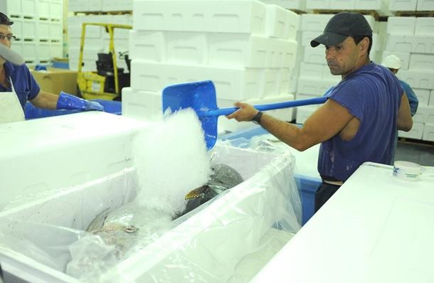 un operario de IslaTuna cubre con hielo varios atunes frescos