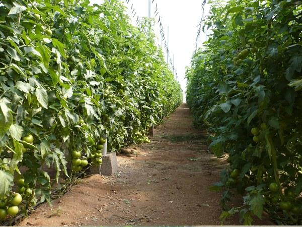 cultivo de tomates canarios
