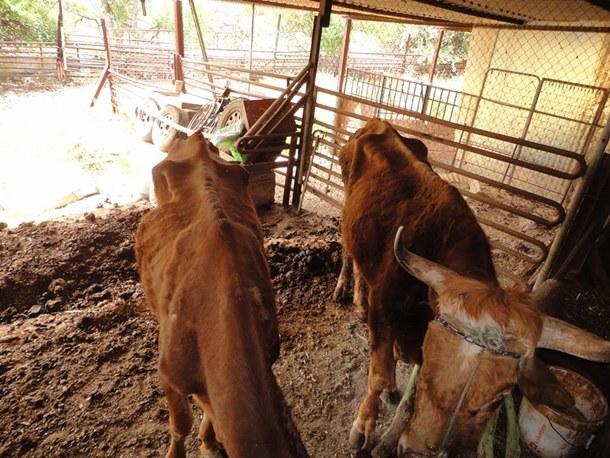 vaca y un toro desnutrido La Laguna