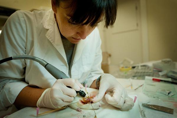 Una investigadora trabaja con una rata en uno de los proyectos que en la actualidad se lleva a cabo en el Animalario de la Universidad de La Laguna. / FRAN PALLERO