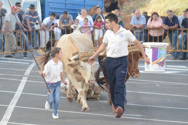 La liga Infantil cautivó el jueves a los aficionados y hoy será la gran fiesta del arrastre, que se traslada a la Casa del Ganadero. / Sergio Méndez