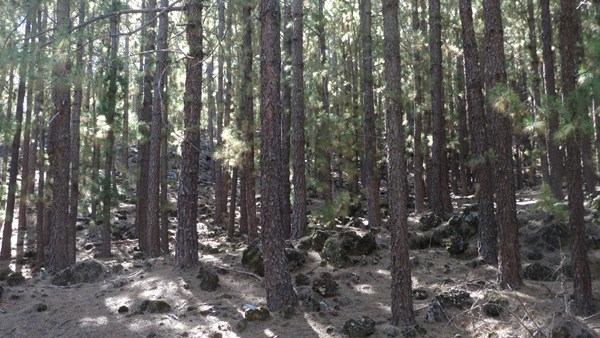 monte de pinos