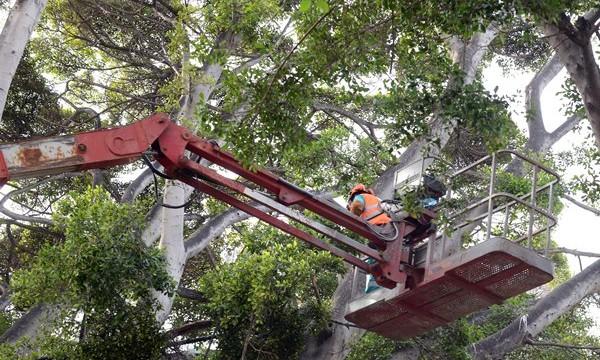 La canalización de aguas afecta a los árboles de la avenida de Anaga