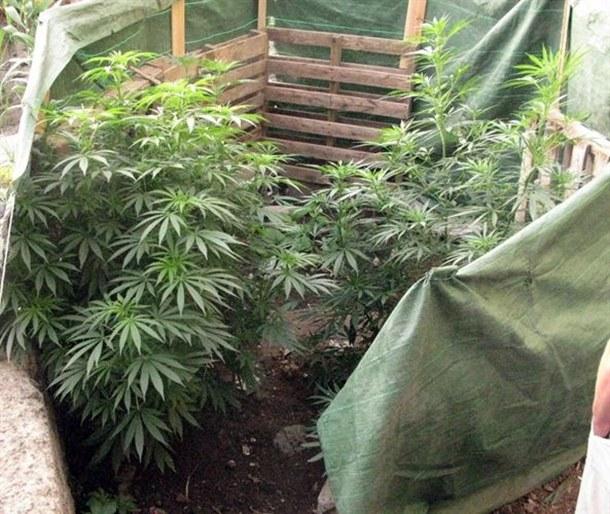 Plantas de marihuana en un solar de La Orotava