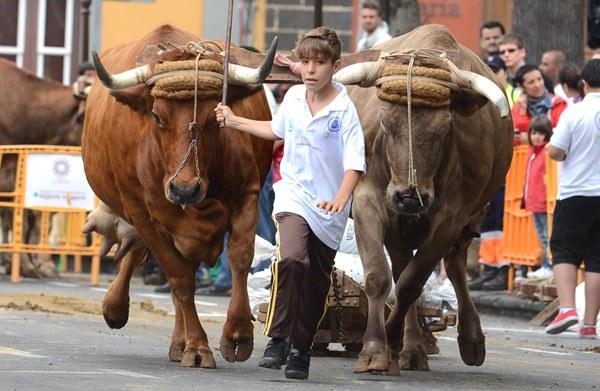 guayeritos, arrastre de ganado
