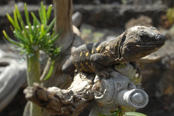 Un ejemplar de Gallotia simonyi lagarto gigante de El Hierro