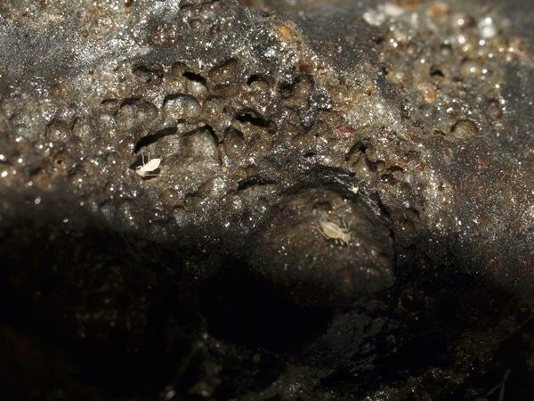 Nuevas especies de invertebrados hallados en el tubo volcánico. | DA