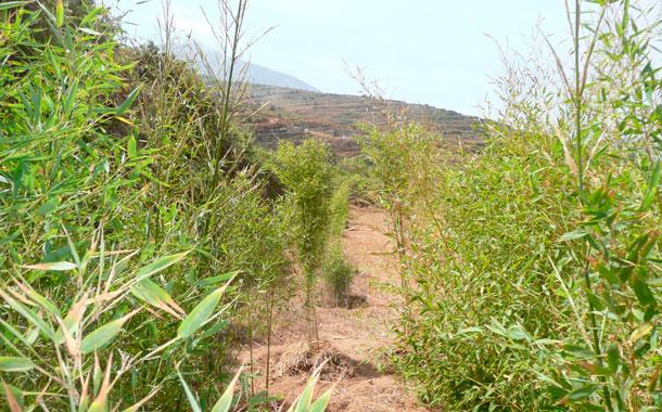 Inter s de ocho centros educativos en introducir el cultivo del bamb diario de avisos - Cultivo del bambu ...