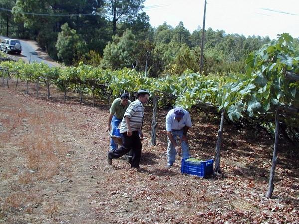 Imagen de unas viñas en la zona norte de Tenerife. / DA