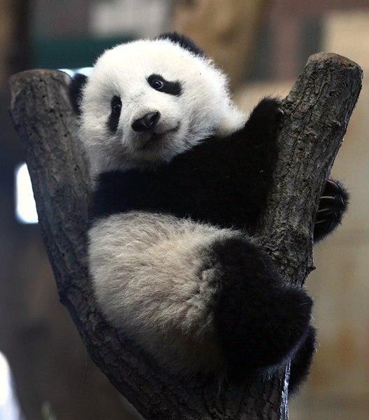El panda Fu Bao, de casi 5 meses, observa desde el tronco de un árbol a los visitantes del zoológico de Viena. | REUTERS/Heinz-Peter Bader