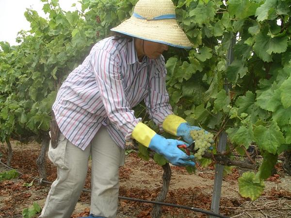 Una viticultora, durante una vendimia en una finca agrícola del Norte de Tenerife. | DA