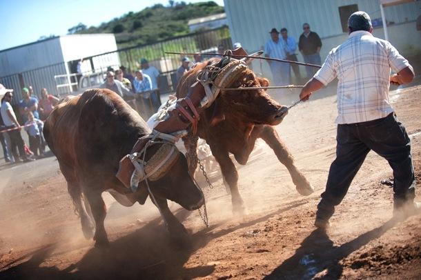 yuntas de vacas y toros Arrastre de ganado