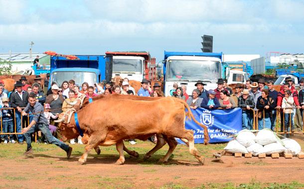 Jorge David Siverio demostró en Los Rodeos que es el guayero a batir en Vacas de Tercera. / SERGIO MÉNDEZ