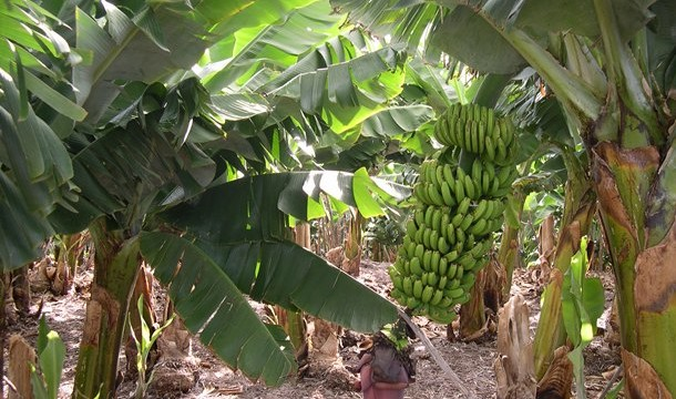 El temporal de viento afecta a cerca del 30% de la superficie cultivada de plátano en Canarias