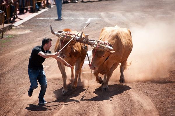 Más de treinta yuntas de Toros de Segunda y Vacas de Segunda y de Tercera compitieron ayer. / FRAN PALLERO
