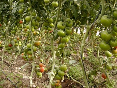 Las autoridades han decidido retirar las partidas; en la imagen, una plantación de tomates. / DA