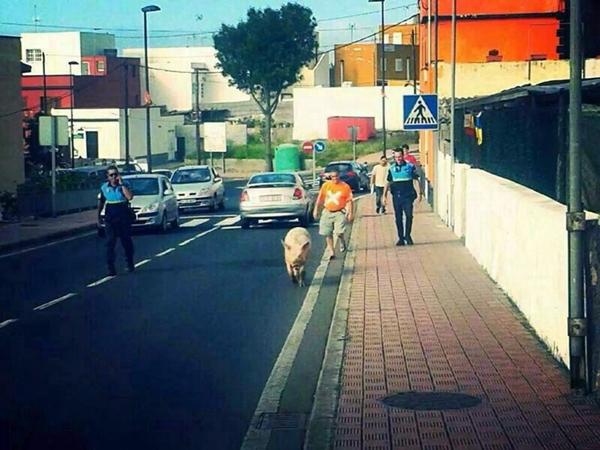El cochino escoltado por la Policía Local. | DA