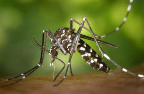 Si ven a estos mosquitos, avisen a las autoridades. Al de arriba se le conoce como mosquito tigre aunque su nombre formal es Aedes albopictus. Es pequeño, negro y con rayas blancas.El de abajo es el mosquito de patas blancas (Aedes aegypti). Es muy agresivo y también transmite enfermedades. / DA