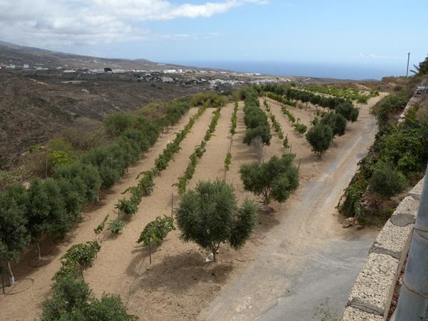 El 75% de la producción de uva se destinará a embotellar vino blanco.  / DA