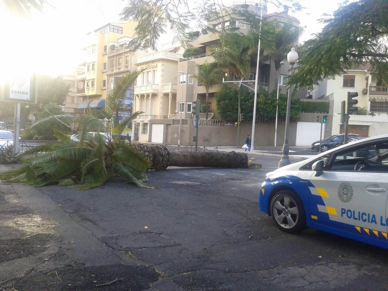 Una palmera cae en Las Ramblas, a la altura del Parque García Sanabria./ DA