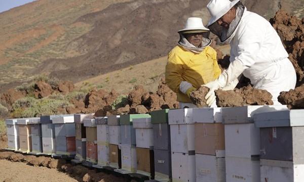 Un estudio alerta del peligro de las colmenas de abejas para el Teide