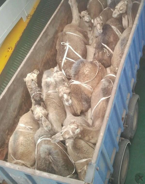 Los dromedarios llegados a Tenerife el 2 de enero. / l@s jardiner@s