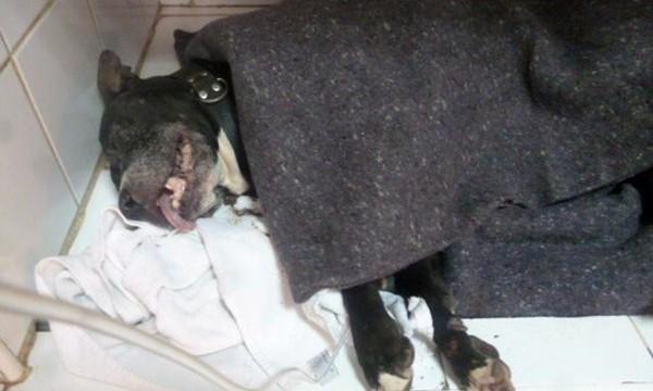 Una pitbull evita un asalto  a una familia en Santa Cruz