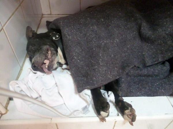 La perra llegó en muy mal estado a las instalaciones de Valle Colino después del suceso. / ALBERGUE VALLE COLINO