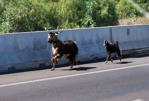 La cabra y su cría formaron un atasco en la TF-2. / JUAN JESÚS GONZÁLEZ