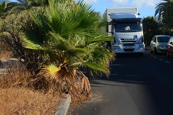 La falta de poda en las palmeras se convierte en un peligro para la circulación de vehículos. | NORCHI