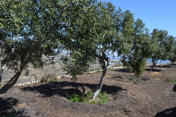 El cultivo de olivares se ha incrementado en el municipio. / J. L.C.