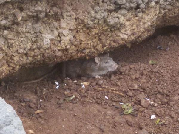 Dos de los roedores encontrados ayer. / DA